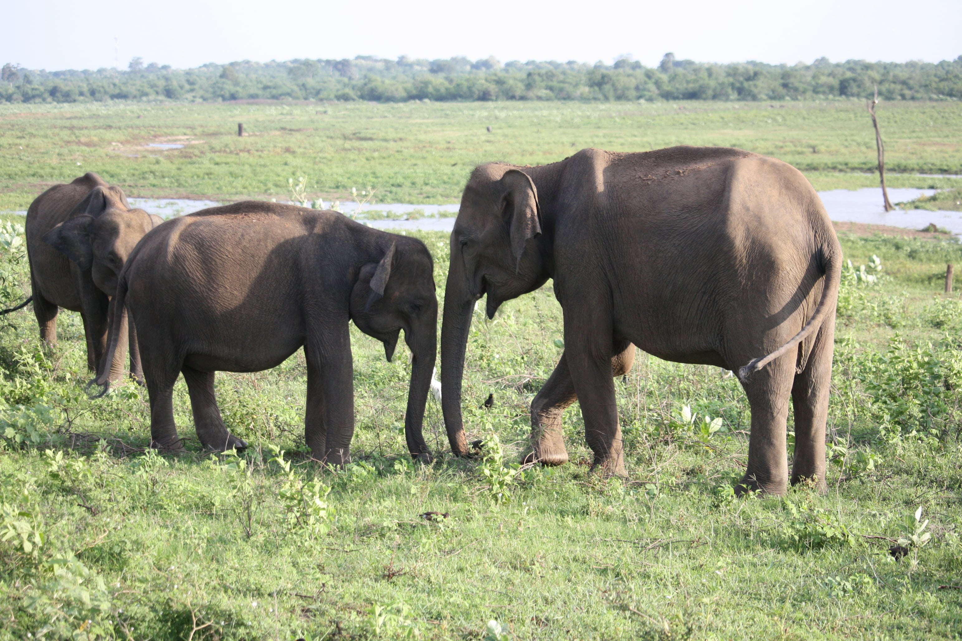 elephant-elefant-uda-walawe