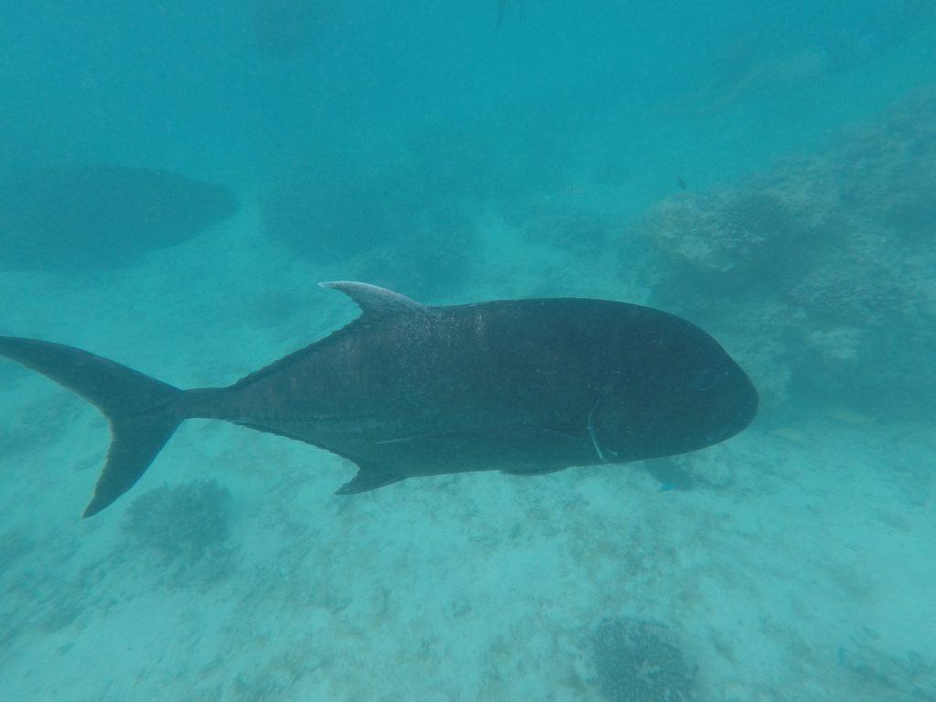 Giant Trevally - Snorkeling - Aitutaki - iles Cook