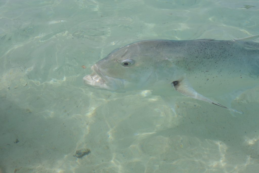 Giant trevally - One foot island - Cook islands