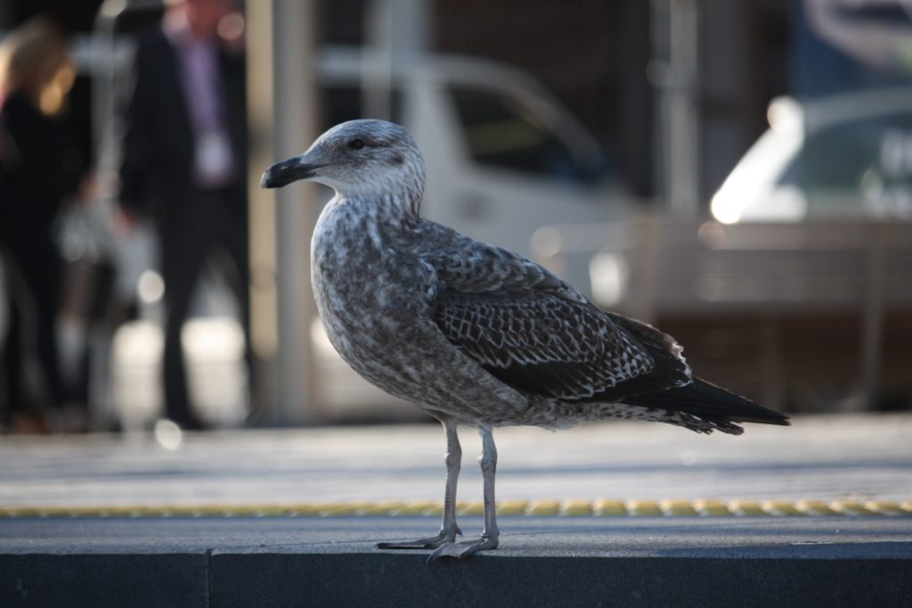 oiseau-bird-Christchurch