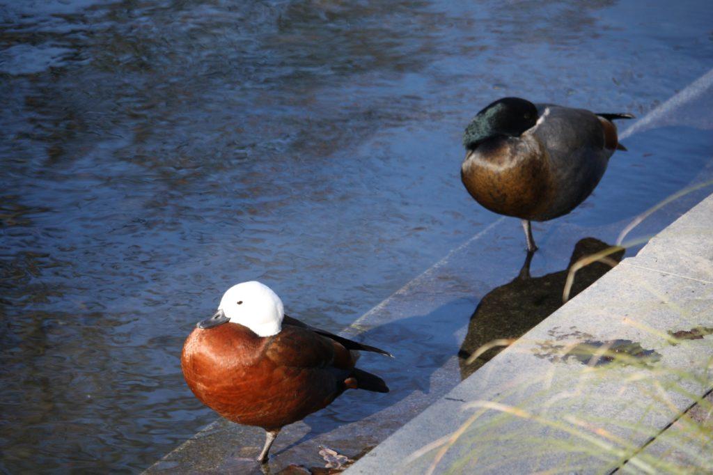 canard-duck-Christchurch