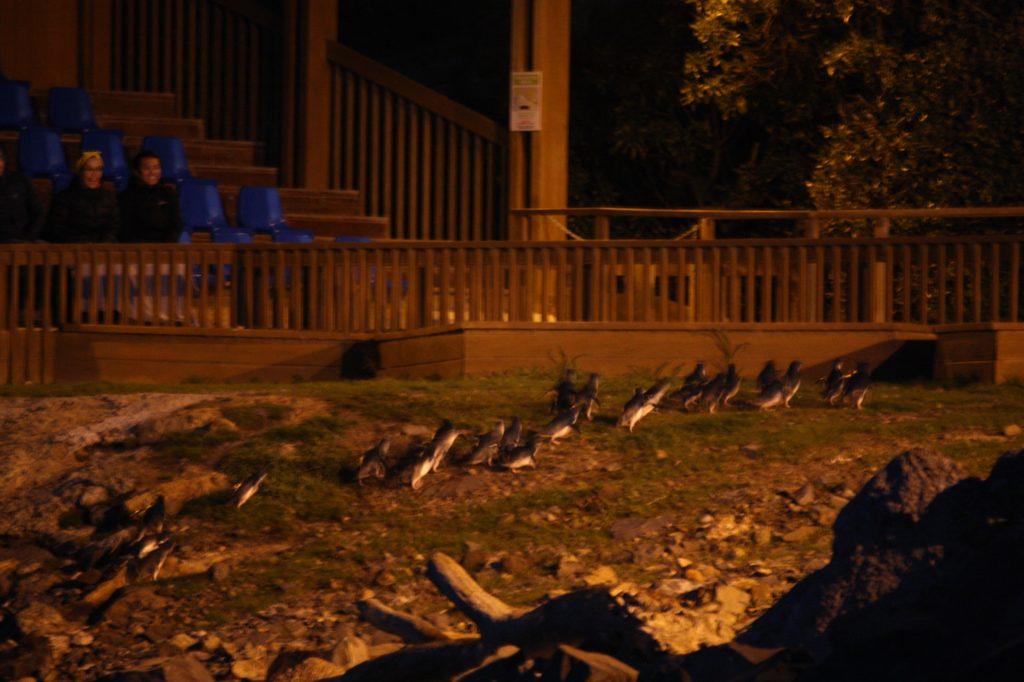 manchots bleu-blue penguins-oamaru