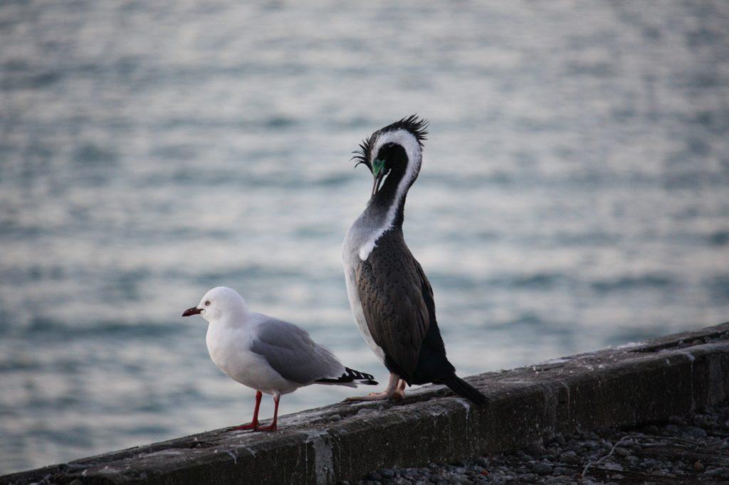 oiseau-cormoran-oamaru-jetee-nouvelle zelande