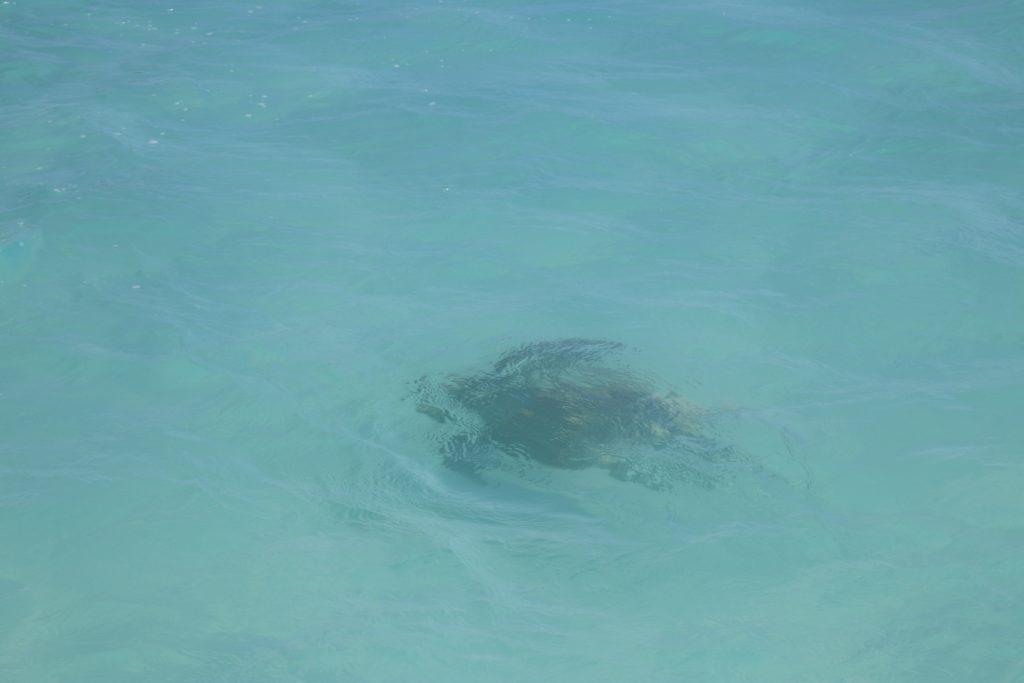 tortue-pont de mouli-ouvea-caledoni