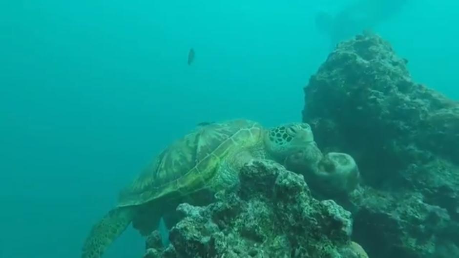 Rarotonga tortue-turtle-cook