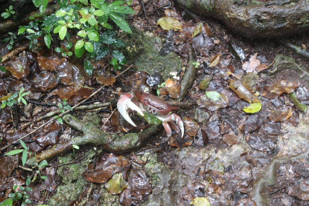 crabe-iles des pins-caledonie